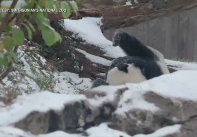 Washington sotto la neve, il panda fa festa